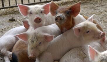 Неприбуткове свинарство, або чому імпорт свинини утравні зріс утричі