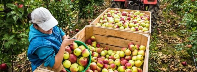 УЄвропі нікому збирати фрукти