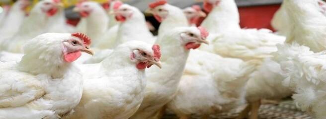 Ціни на курятину в ЄС знизилися на 6%