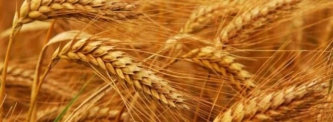 На експорт пішло 700 тис. т зерна нового врожаю
