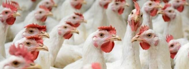 Україна наростила експорт курятини