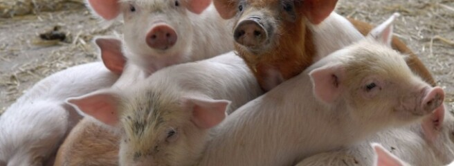 Імпорт свинини в Україну виріс на 64%