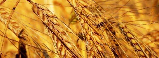 Аграрії намолотили більше 14 млн т зерна: названі регіони-лідери